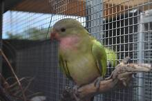 Baby Princess Parrots - handraised in aviary Gawler Gawler Area Preview