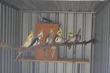 Baby Cockatiels - Available Now - Aviary Raised - Many colours Gawler Gawler Area Preview