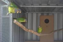Plumhead Parrots 1yr old Gawler Gawler Area Preview