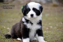 PureBred Long Haired Border Collie Puppies For Sale Maidenwell South Burnett Area Preview