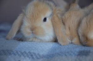 Holland lop baby bunnies forsale
