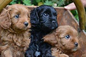 Looking for a Cavoodle or Toy Poodle Tatura Outer Shepparton Preview
