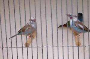finches for sale Noble Park Greater Dandenong Preview
