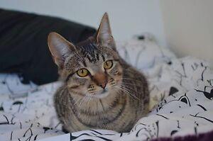 Older rescue kitten-Hunter Valley Cat Haven Kurri Kurri Cessnock Area Preview