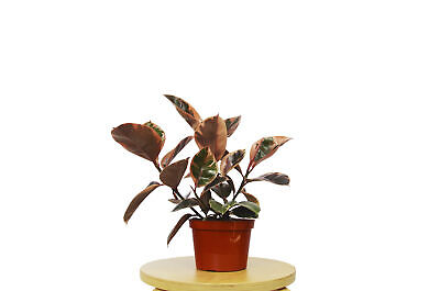 Ficus 'ruby Pink' Rubber Plant In 6