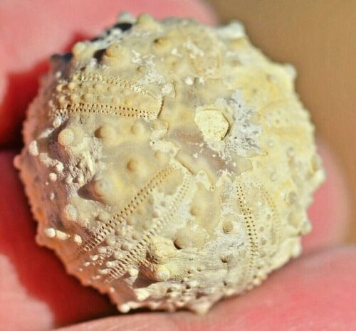 Fossil Sea Urchin, Goniopygus sp, from Morocco #1