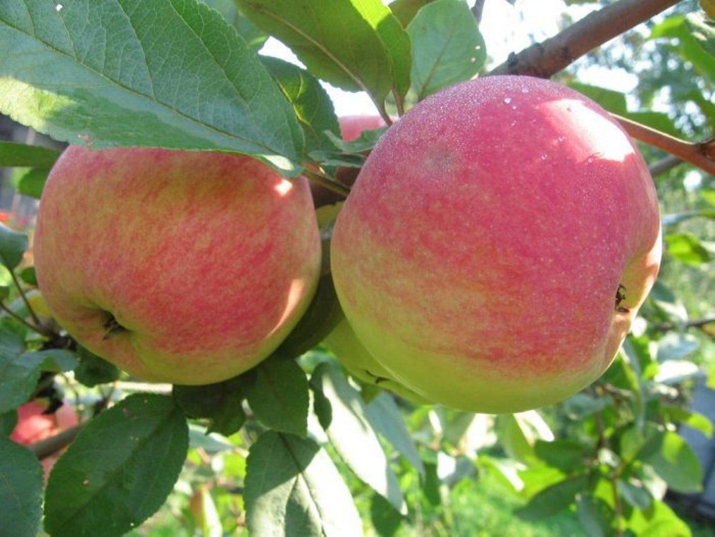 Сорт яблони Подарок садоводам: фото, отзывы, описание 86