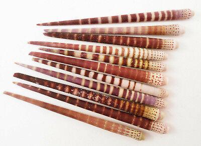 12 Beautiful Striped Tiger Sea Urchin Spines Nautical Crafts Beach Coastal - Nautical Crafts