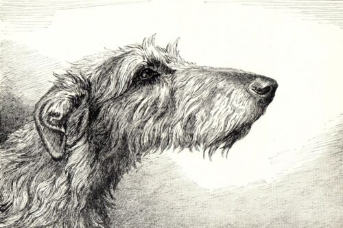 1930s Antique DEERHOUND Dog Print Ernest Chapman Deerhound Dog Art Print 3860q