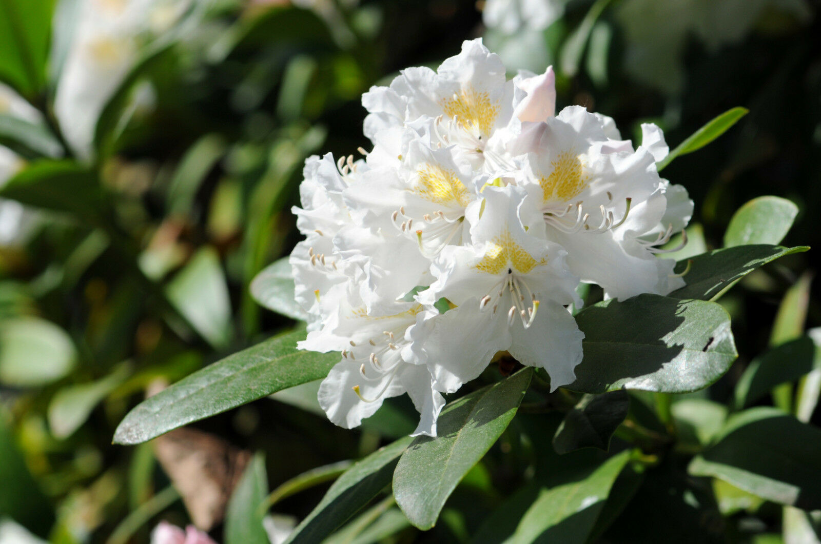 Rhododendron Cunninghams White 30 40cm Tall In 5l Pot Stunning