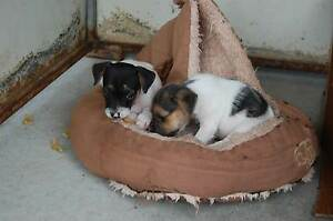 Jack Russell Pups Ipswich South Preview