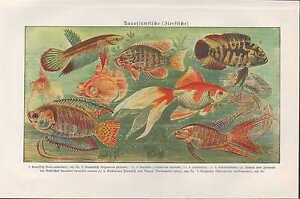 Chromo litograf a 1924 acuario peces peces ornamentales for Acuarios de peces ornamentales