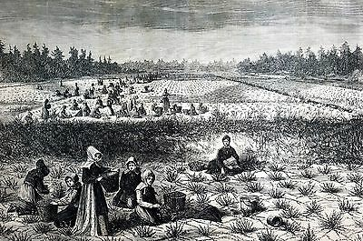 Tom's Toms River New Jersey 1867 CRANBERRY BOGS Picking Berries Matted Print