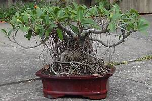 Bonsai - 42 Years Old - Port Jackson Fig North Narrabeen Pittwater Area Preview
