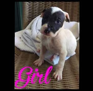 Johnson Bulldog x Bull Arab Puppies Colyton Penrith Area Preview