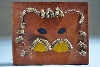Vintage Mounted Display Rattlesnake Rattles - Wood board