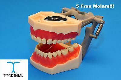 Typodont Dental Model Fg3 Ag3 Works With Frasaco Brand Teeth 5 Free Molars