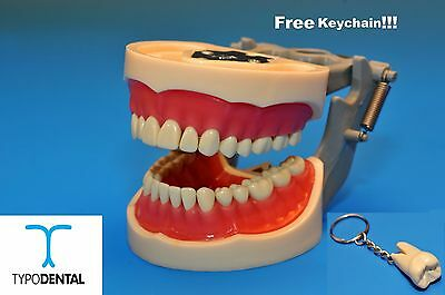 Dental Typodont Model 200 Works With Kilgore Brand Teeth Free Keychain