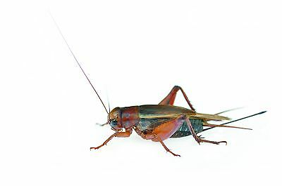 Live Crickets-Choose (Sm. Med. Lrg. Sizes) grown by Gimminy Crickets & Worms