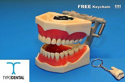 Dental Typodont Model 860 Works With Columbia Brand Teeth Free Keychain