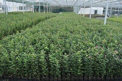 30 X 60-80cms Ilex Aquifolium Holly Hedging P9 Pots