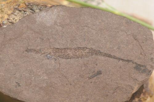 Fossil Fish Hiposyngnathus