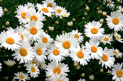 SHASTA DAISY FLOWER SEEDS - BEAUTIFUL - BULK (Bulk Daisy Seeds)