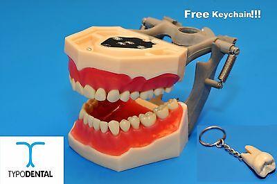 Dental Typodont Model Fg3 Ag3 Works With Frasaco Brand Teeth Free Keychain