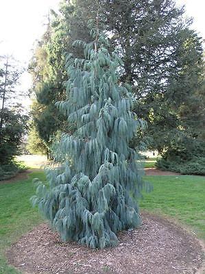 Kashmir Cypress, Cupressus cashmeriana, Tree Seeds (Weeping ...