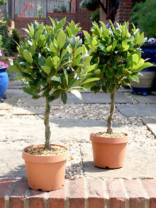 Bay Tree 1/4 Standard with Twisted Stem (60-70cm Height) PAIR OFFER