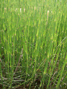 Horsetail Rush (Equisetum hyemale) - 10 Plants Aquatic Pond Garden Bog