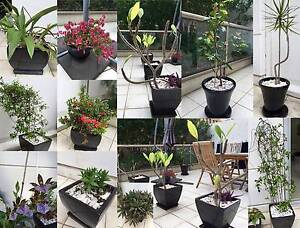 Large ceramic pots w plants/trees - Frangipani, Orchid, Jasmine Sydney City Inner Sydney Preview