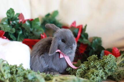 🎁Baby Blue Bunnies🎁 Purebred mini lop rabbits