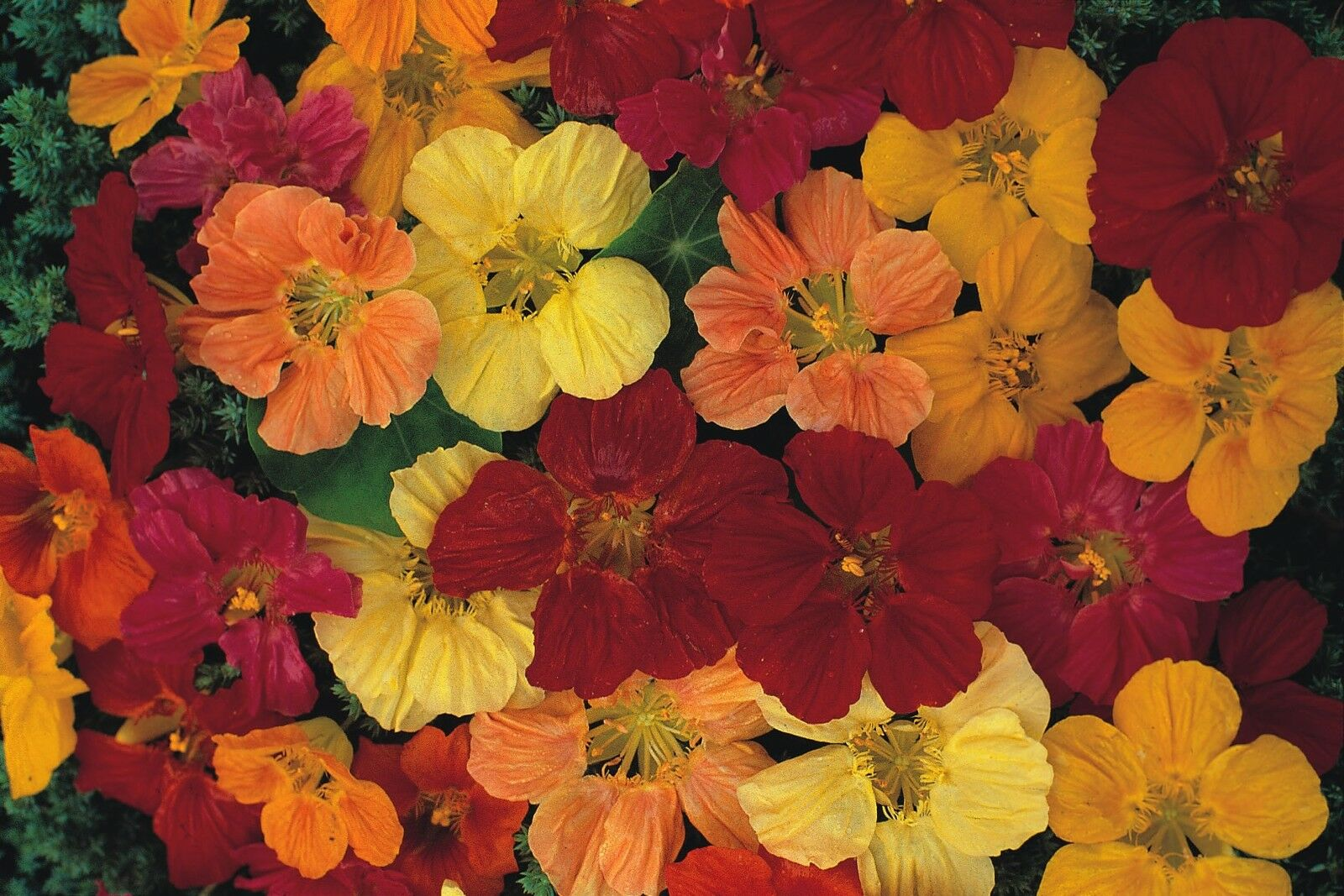 Large Gleam Mixed 1000 Seeds Nasturtium Flower