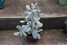 Healthy Potted Succulent - Cotyledon orbiculata (silver shadow) Hawthorn East Boroondara Area Preview