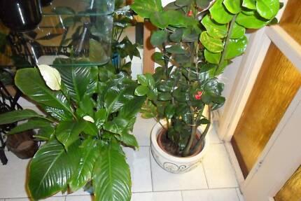 PLANTS HIDRAANCEA