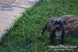 Ankc registered Staffordshire bull terrier pups