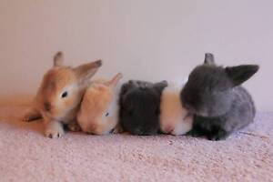 Baby mini Lop Bunnies Greenfield Park Fairfield Area Preview