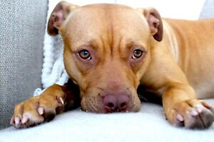 FREE GIVEAWAY FOR GOOD HOME ONLY STAFFY CROSS