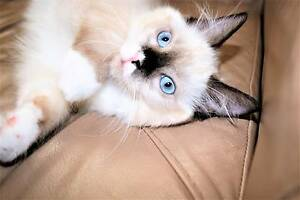 Female chocolate pedigree ragdoll kitten Carlton Kogarah Area Preview