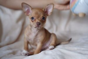 2-month old female chihuahua
