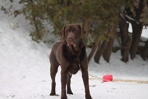 Stud chocolate lab unregistered