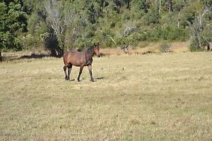 Thoroughbred cross Clydesdale cross Murdunna Tasman Area Preview