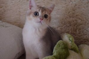 Blue Kittens For Sale : British shorthair adopt cats kittens locally in toronto gta