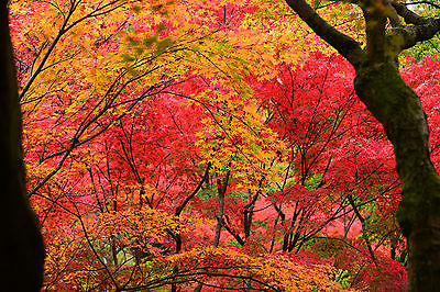 JAPANESE MAPLE 151 SEEDS MIX GREAT FOR BONSI, SHADE TREES, CASCADING AND UPRIGHT