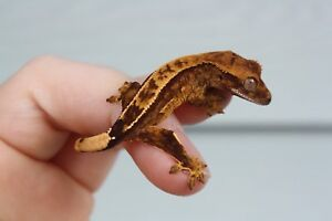 CRESTED GECKOS OF ALL AGES