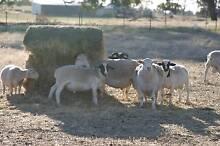 Dorper Rams Goorambat Benalla Area Preview