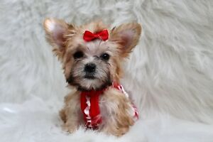 ❤️Tiny Teacup Doll Face Morkie Puppy ❤️