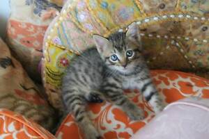 THANK YOU, ALL REHOMED-FREE BEAUTIFUL KITTENS FOR A LOVING HOME Bundall Gold Coast City Preview