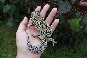 Female Leopard gecko for rehoming